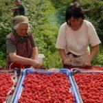 jagodicasto-voce1-150x150 Poljoprivreda