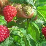 jagodicastovoce2-150x150 Poljoprivreda