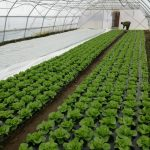 salata-4-150x150 Kontrolne posjete proizvođačima salate u općini Maglaj