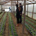 salata-6-150x150 Kontrolne posjete proizvođačima salate u općini Maglaj