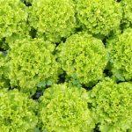 IMG_20180212_144506-150x150 Počeo otkup zelene salate  u Žepču