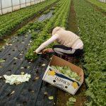 Marino-M-7-150x150 Počeo otkup zelene salate  u Žepču