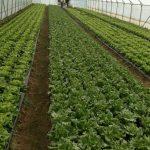 Marino-Marincic-150x150 Počeo otkup zelene salate  u Žepču