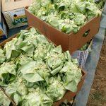 Marino-Marincic-3-150x150 Počeo otkup zelene salate  u Žepču